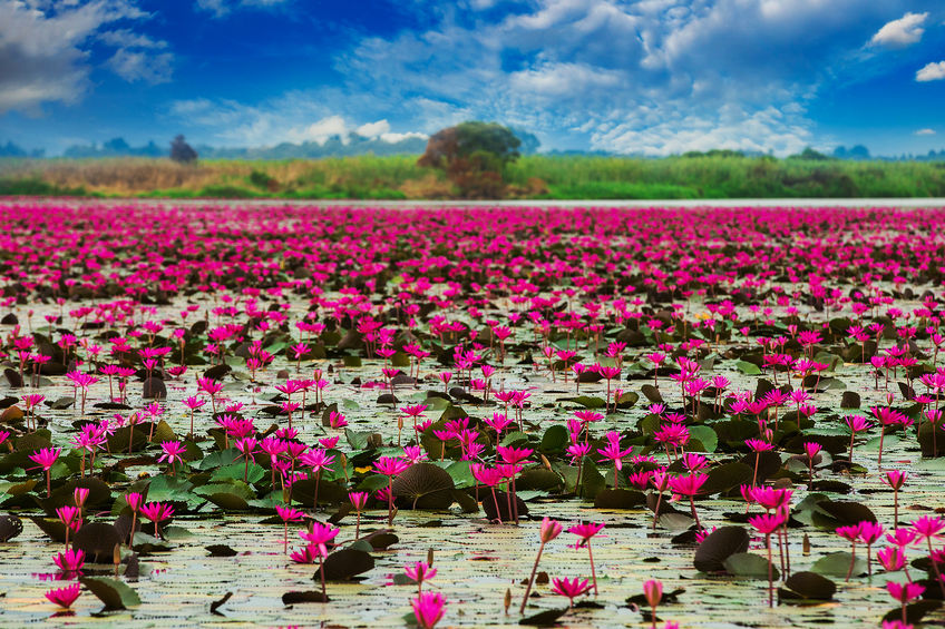 Sea of red lotus in Lotus Marsh, Thailand